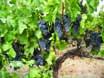 old vine bunch