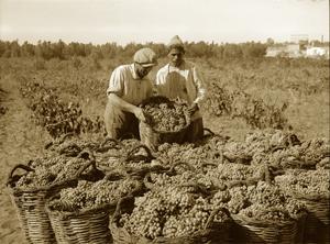 Rishon harvest