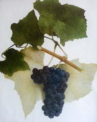 The Montefiore grape
